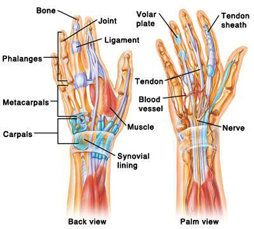Hand & Wrist Tendons & Muscles