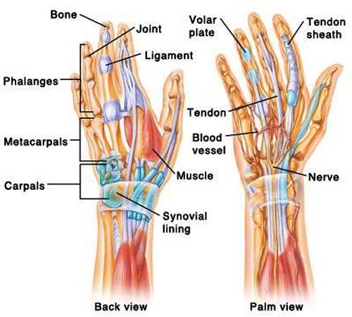 Hand & Wrist Tendons & Muscles